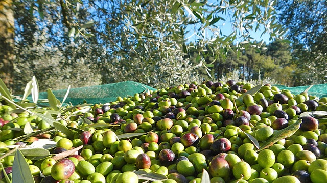 raccolta-olive2